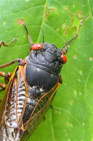 Conn. chef set to feast on cicadas during invasion