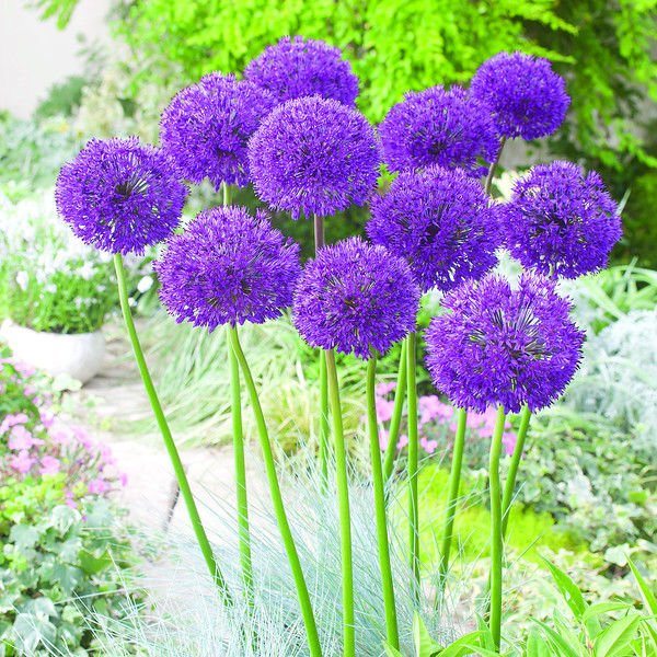 Alliums and species tulips will add interest to your garden in the spring
