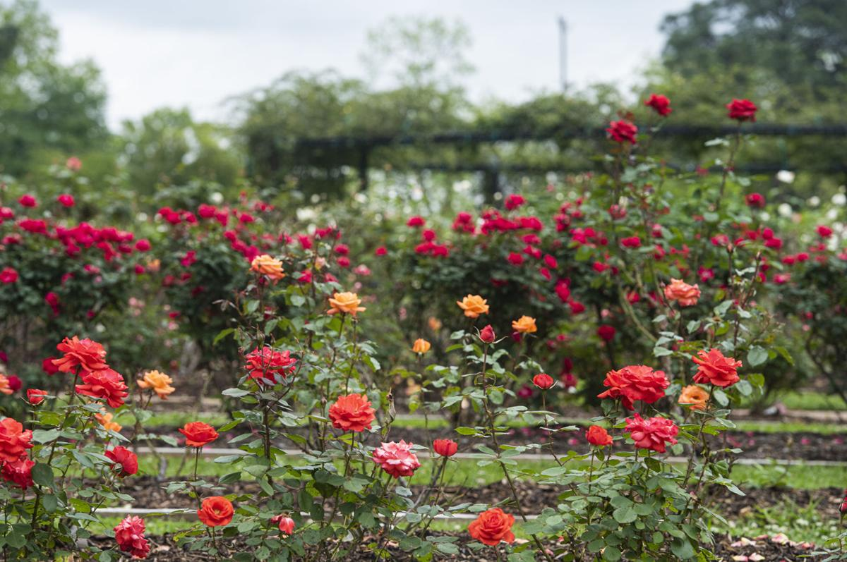 04212020_tmt_news_rose_garden_03web.jpg