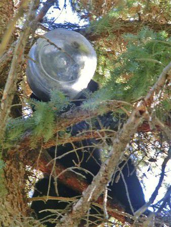 Man lassoes bear with head stuck in big plastic container