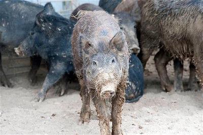 Texas counties can seek feral hog control grants