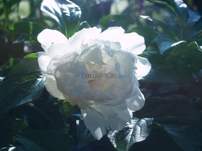 With great care, lovely peony bushes can be grown locally