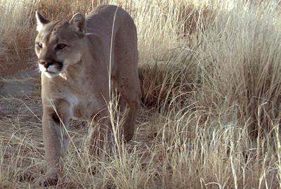 Texas mountain lions more common west and south, but can travel anywhere