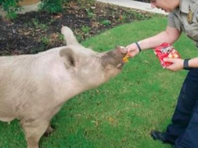 Cedar Park police use Doritos to capture escaped pigs