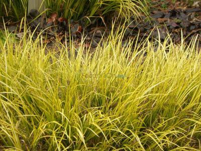 Winter doesn't stifle golden acorus' color