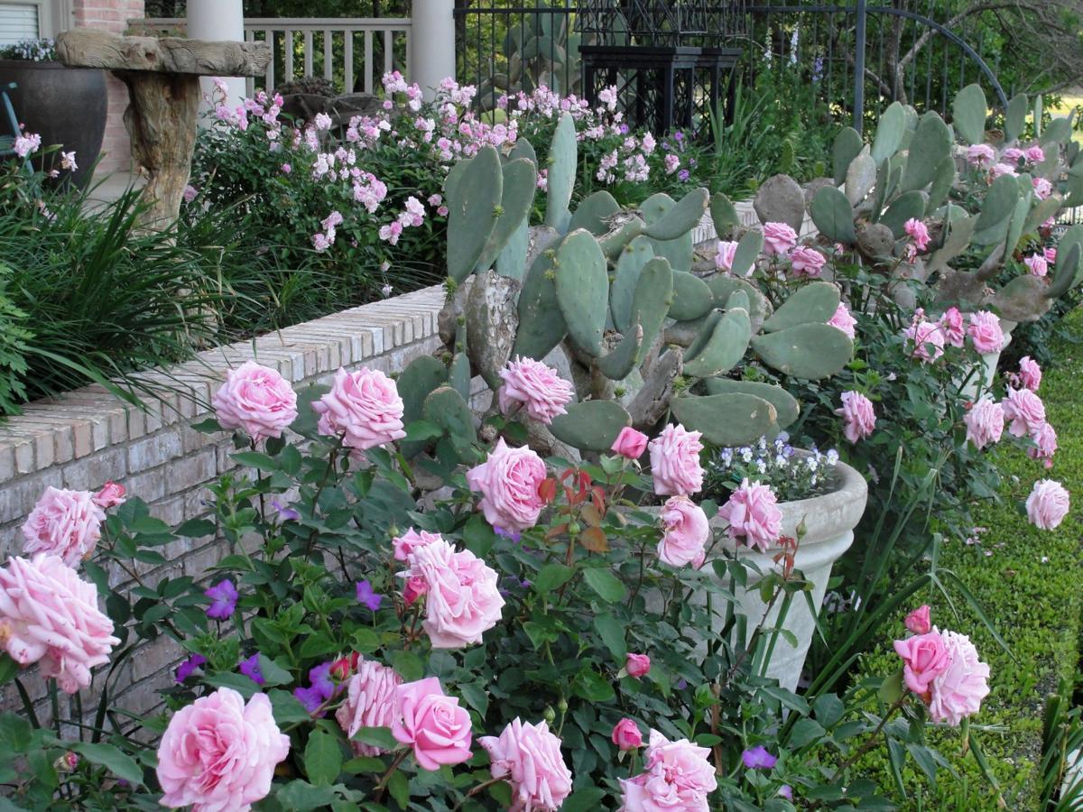 grant fall roses