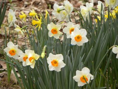 Barrett Browning very easy-to-grow daffodil