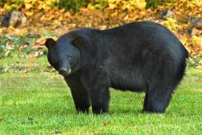 Louisiana black bear officially off endangered and threatened species list