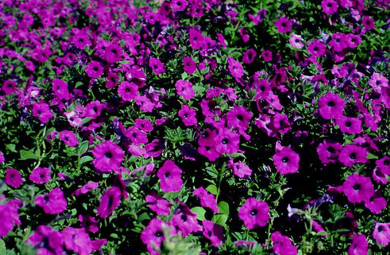Laura Bush petunia