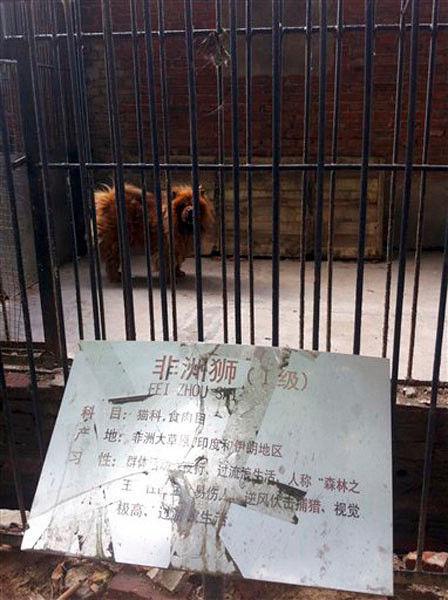 Lyin' den? China zoo replaces big cat with big dog