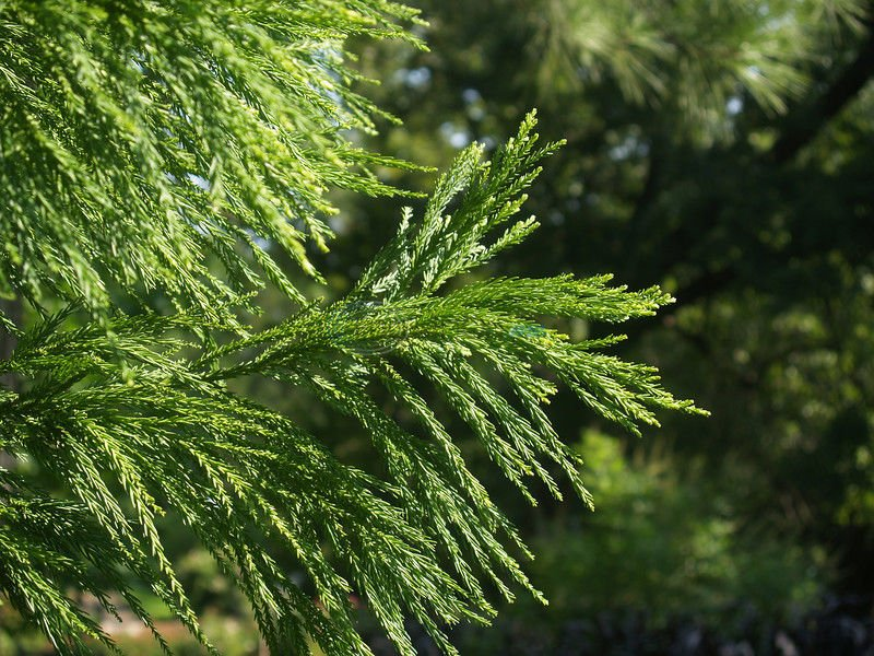 The Japanese Cedar evergreen tree deserves more credit