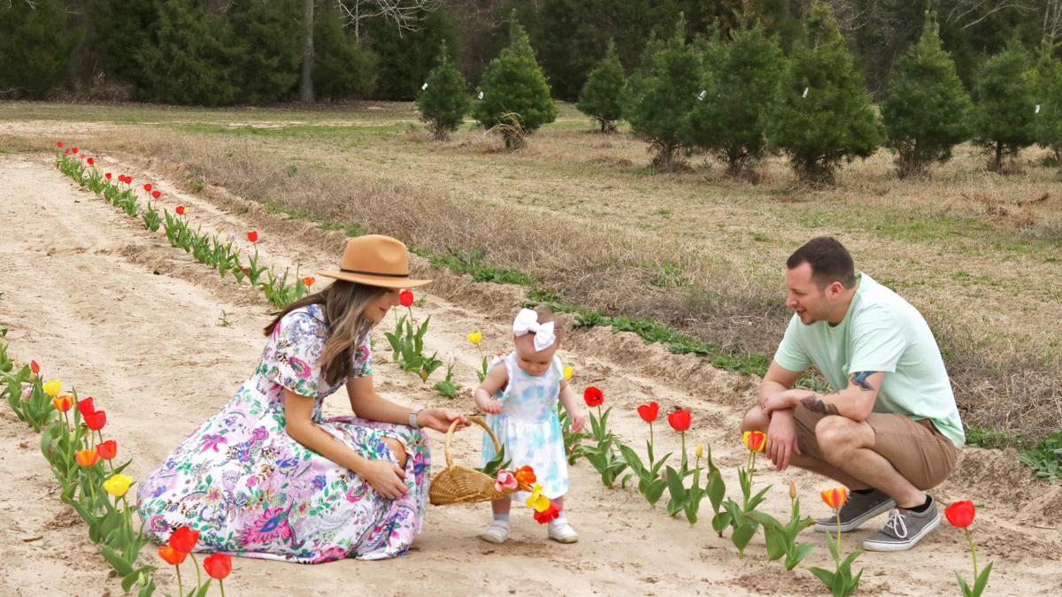 Plantation Pines opens up tulip farm