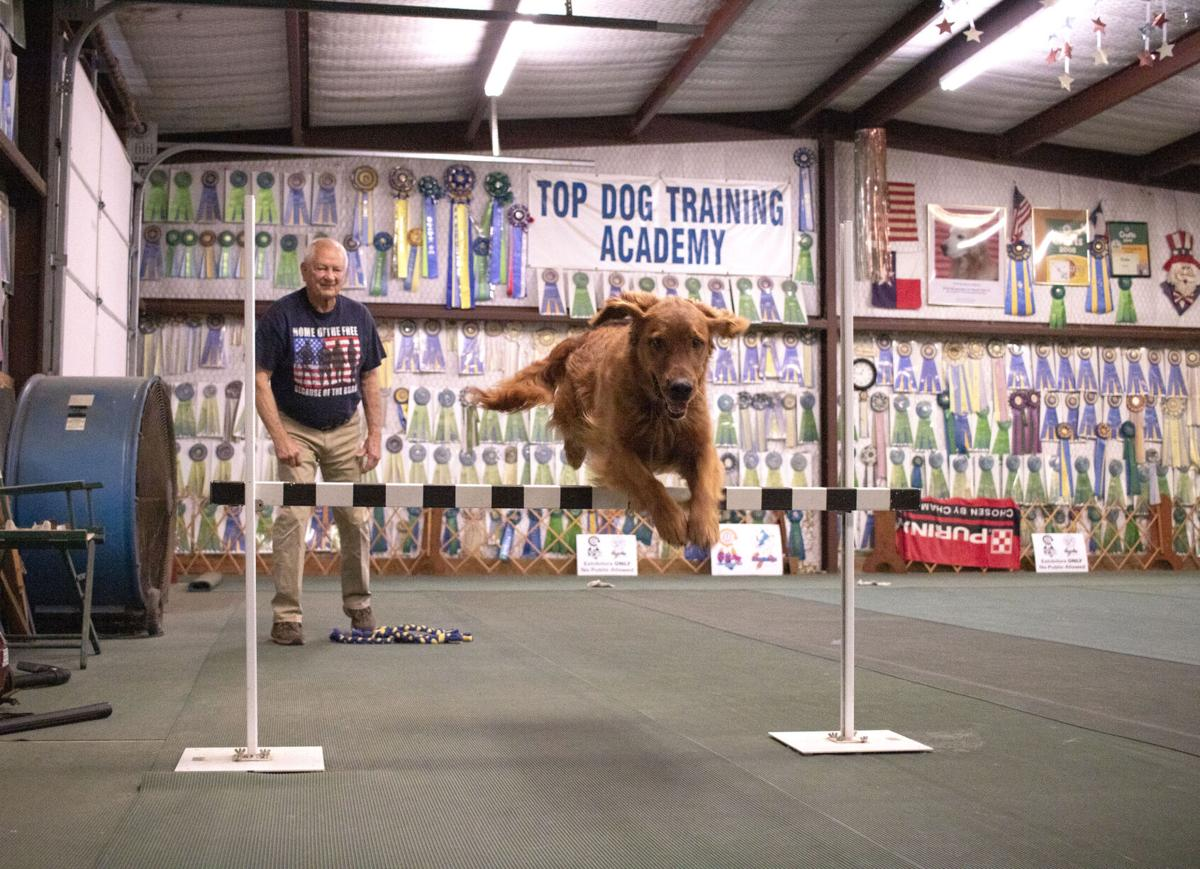 Golden Retriever from Mineola earns AKC Top Obedience Dog in the Country