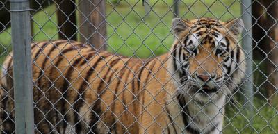 Tiger found in abandoned Houston house gets new name, home at Cleveland Amory Black Beauty Ranch
