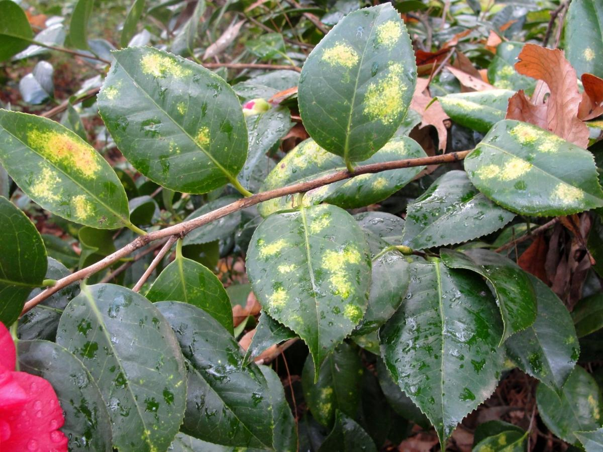 Tea Scale Insects Beneath The Foliage Causes Patchy Yellowing On Camellia Leaves Courtesy