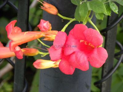 Wild Trumpet vines draw hummingbirds