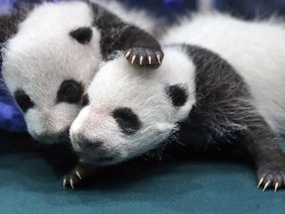 Group says giant pandas are no longer endangered, merely vulnerable