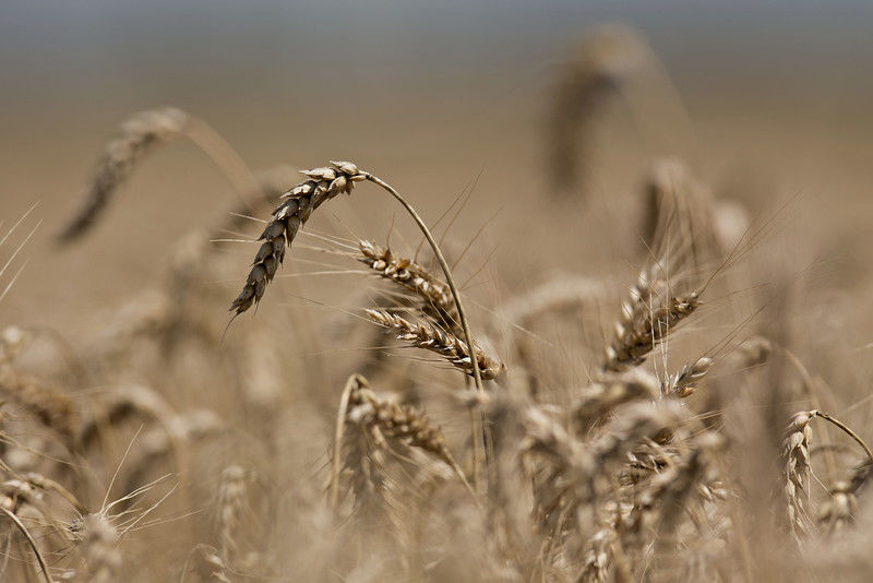 When the harvest is too good: Not enough room for wheat and other grain in US silos