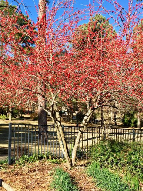 Coral bark maple and possumhaw holly are bright spots in the winter landscape