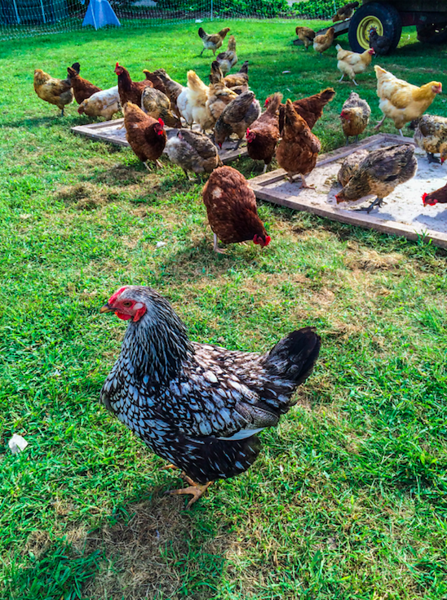 Backyard chickens blamed for salmonella outbreaks; Do not snuggle with them