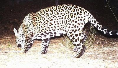 Jaguar photo captured on Fort Huachuca, Ariz. trailcam