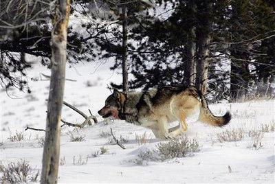 Plan lifts wolf protections in Lower 48 states