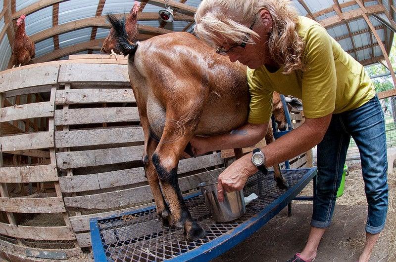 Texas goat's paradise: Diapers, pretzels and TV