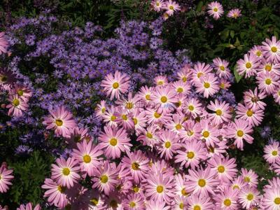 Fall bloomers measure length of night to know when to bloom