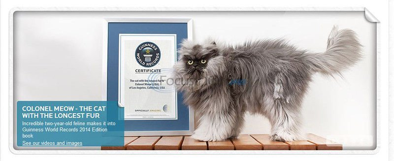 Fur real: Colonel Meow's 9-inch hair sets record