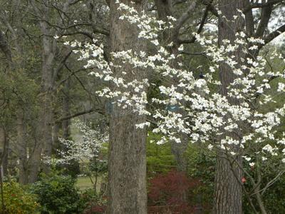 Dogwoods signal arrival of spring