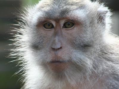 Texas man agrees to surrender 'service monkey' to shelter
