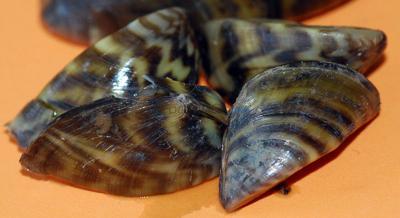 Zebra mussel DNA discovered in lakes Fork, Tawakoni