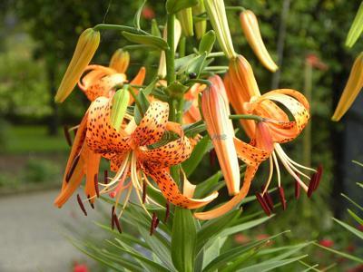 Tiger lilies hitting their blazing glory in IDEA Garden