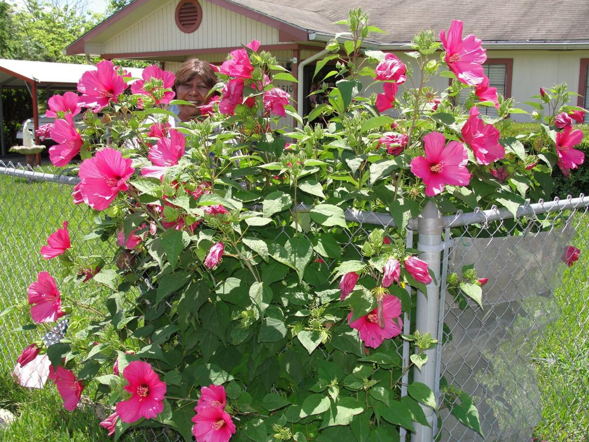 Colorful Rose Mallow Hibiscus Is A Cold Hardy Perennial Lifestyle