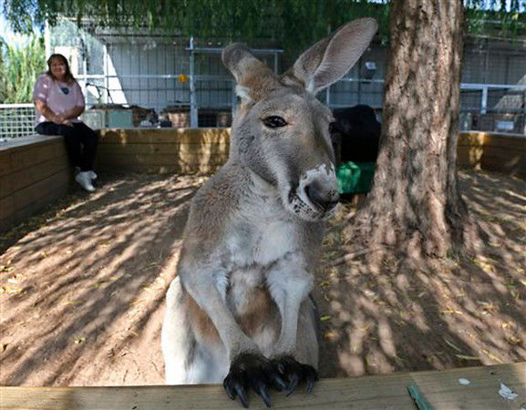 Okla. woman, pet kangaroo find new home at zoo