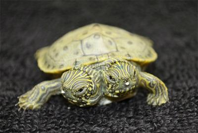 Two Headed Turtle Thriving in San Antonio