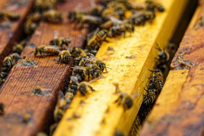 Busy Bees: Hawkins 4G Honey team continues beekeeping operation, triples honey production at Ozarka amid COVID-19 shutdowns