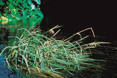 Perennial grass that roots underwater in riverbeds