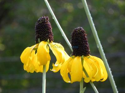 Mexican hats are good plants for all year-round