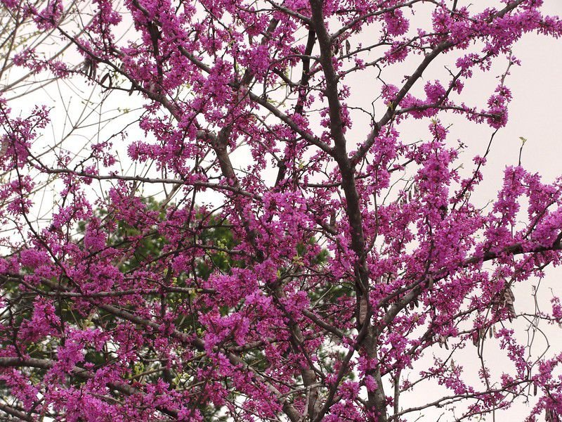 Texas Has 3 Native Varieties Of Redbud