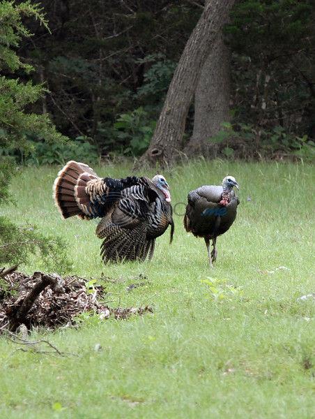 Big Bird: Texas' Spring Turkey Season An Interactive Sport