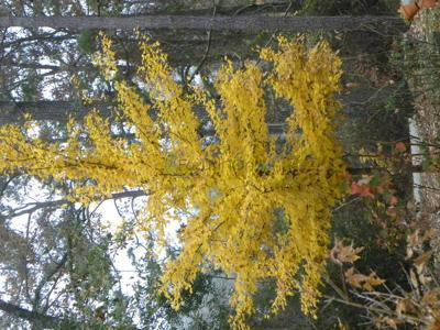 Sugar maples provide beautiful color to East Texas landscape, but probably no syrup
