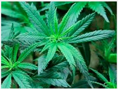 7,000 marijuana plants found in Upshur County