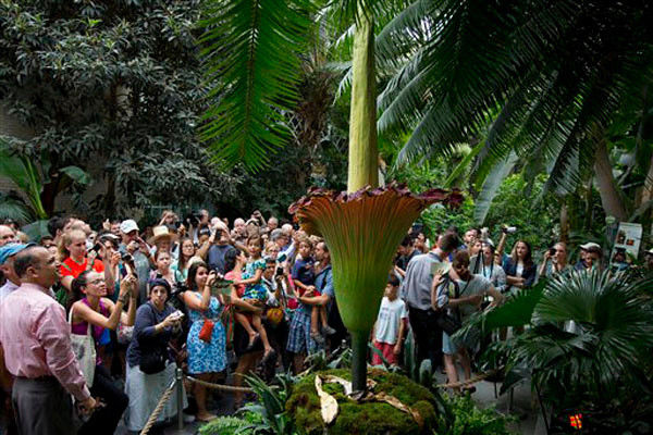 Corpse flower making stink at Phipps conservatory