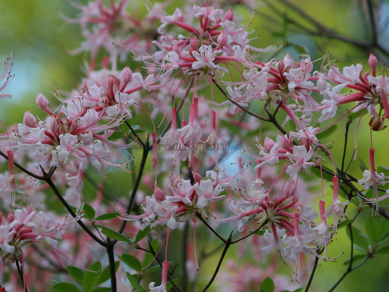 East Texas soils, climate well suited for growing azaleas
