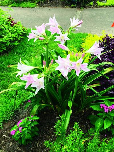 Lovely Amarcrinum is a hardy cross between two plants