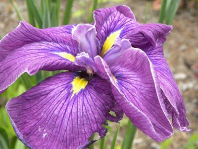 Louisiana iris contributes to brilliant spring color