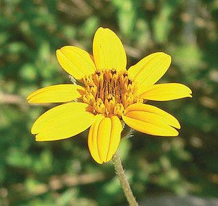 Shrubby perennial Zexmenia long-blooming plant