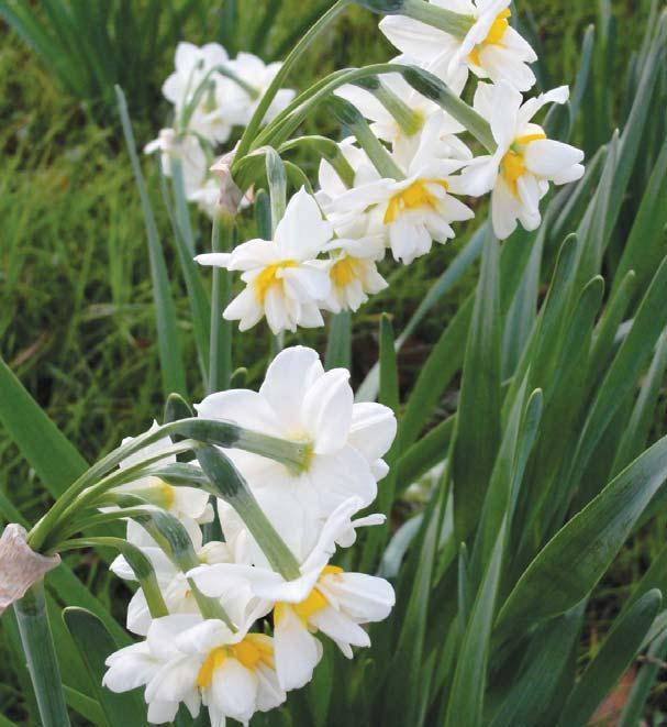 Blooming of narcissus is symbolic of coming Southern spring