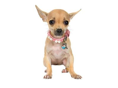 Agents find stowaway Chihuahua in checked bag at LaGuardia